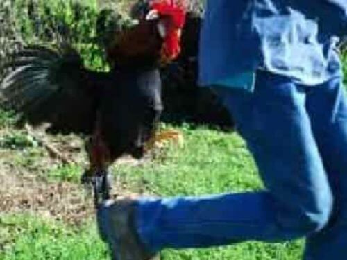 Rooster attacking person