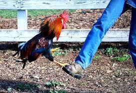 rooster blocking kick